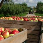 omenhorst 150x150 Appels plukken