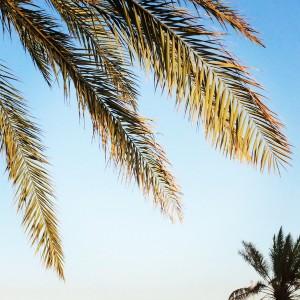palmboom bladeren