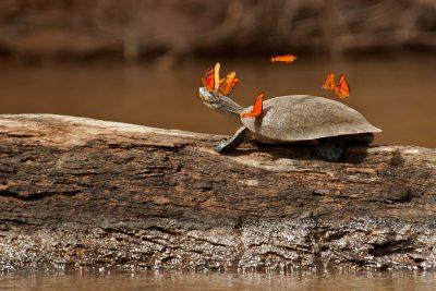 schildpad-zout