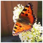 Zo krijg je veel vlinders in je tuin