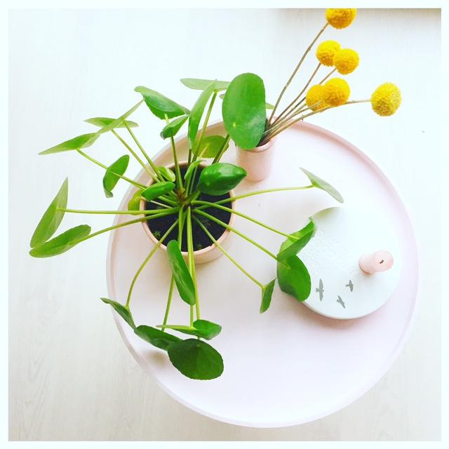 pannenkoekplant baby's