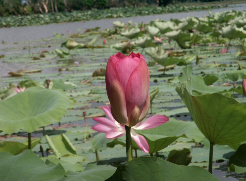 lotus bloem australie