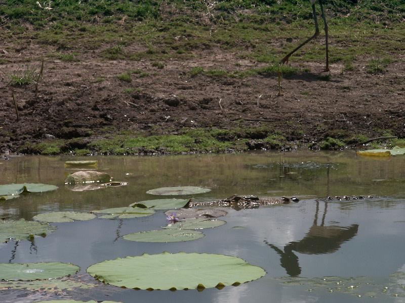Krokodil gespot in Kakadu National Park