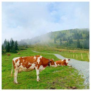 koeien oostenrijk