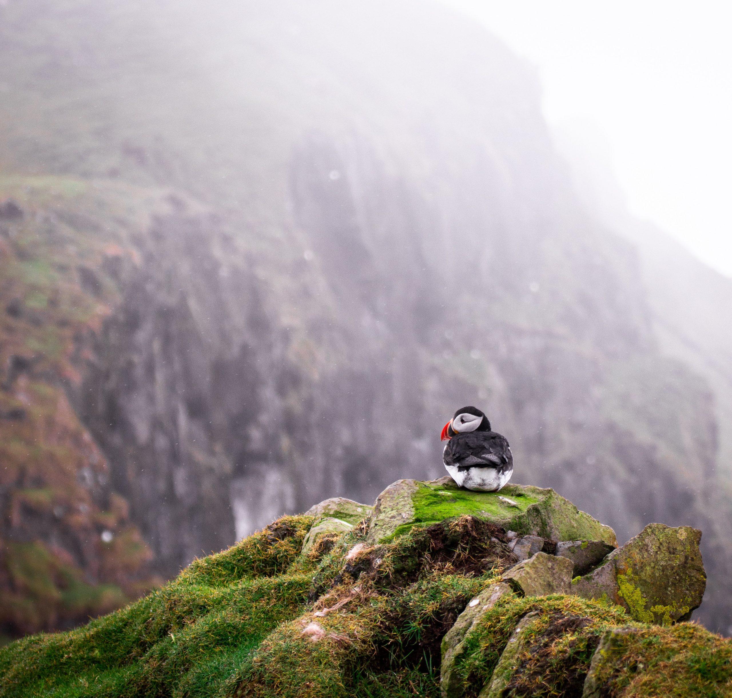 papegaaiduikers in ijsland de beste informatie waar je ze kunt vinden