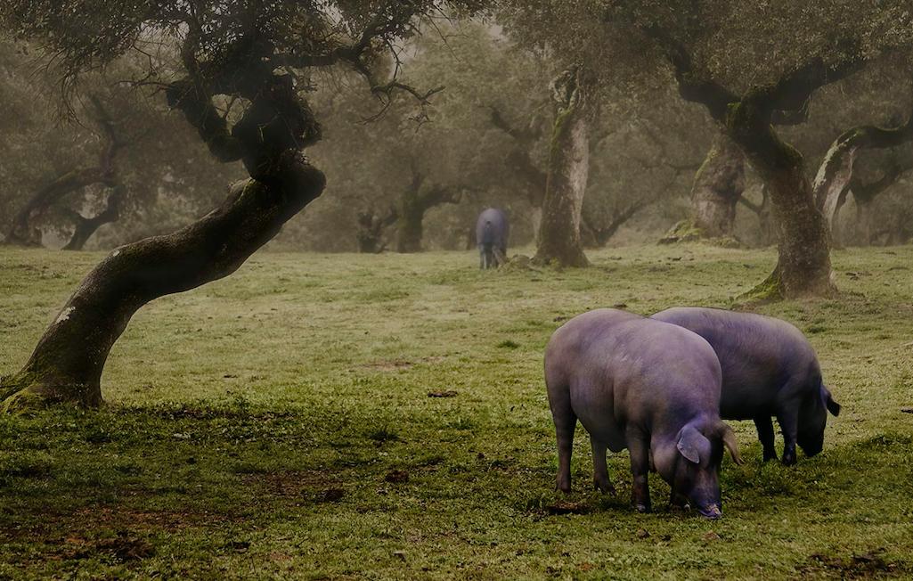 Iberico varkens