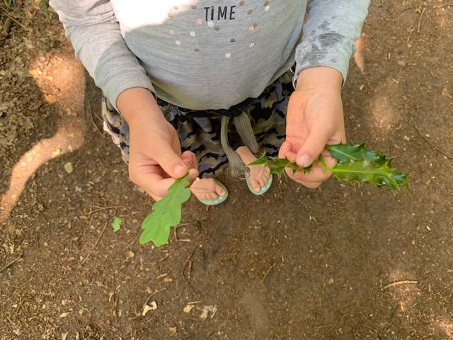 hulst versus eikenblad