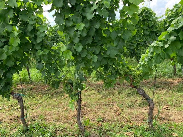 druiven wijnranken