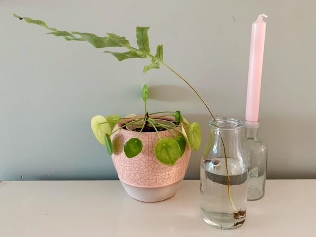 plantjes stekken